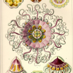 "Fig. 15 – Meduse ornamentali. Tavola 38, «Periphylla», Peromedusae (tratta da: E. Haeckel, ""Kunstformen der Natur"", Bibliographisches Institut, Leipzig-Wien 1899-1904)"