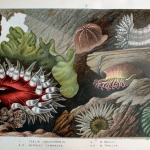 "Fig. 10 – Diorama di colorate anemoni. Tavola IV (tratto da: P.H. Gosse, ""Actinologia Britannica: A History of the British Sea-Anemones and Corals"", Van Voorst, London 1860, p. 190)"
