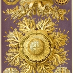 "Fig. 14 – Meduse ornamentali. Tavola 28, «Toreuma», Discomedusae (tratta da: E. Haeckel, ""Kunstformen der Natur"", Bibliographisches Institut, Leipzig-Wien 1899-1904)"